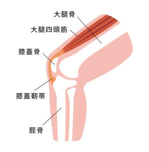 膝 関節 断面 図解 イラストのイラスト素材 [FYI04802386]