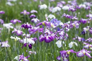 ハナショウブの花の写真素材 [FYI04802403]