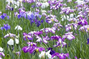 ハナショウブの花の写真素材 [FYI04802405]