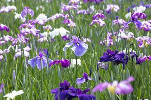 ハナショウブの花の写真素材 [FYI04802406]