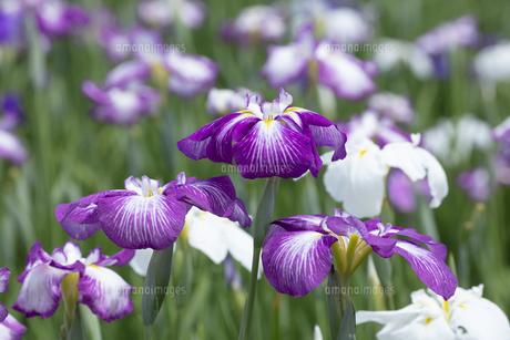 ハナショウブの花の写真素材 [FYI04802410]