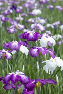 ハナショウブの花の写真素材 [FYI04802411]
