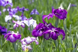 ハナショウブの花の写真素材 [FYI04802413]