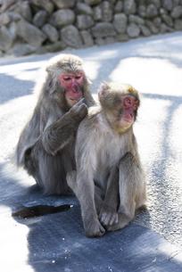大分市 高崎山自然動物園の写真素材 [FYI04802433]
