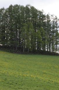 新緑の丘とカラマツ林 美瑛町の写真素材 [FYI04802476]