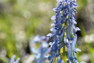 春の野原に咲くカワイイ青色の花 エゾエンゴサクの写真素材 [FYI04802481]