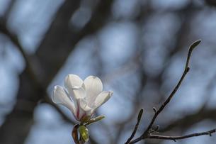 コブシの花のクローズアップの写真素材 [FYI04802483]