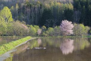 水を張った水田に映る満開のサクラの写真素材 [FYI04802486]