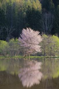 水を張った水田に映る満開のサクラの写真素材 [FYI04802487]