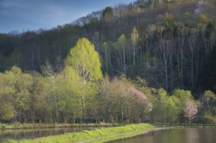 新緑のシラカバ林と満開のサクラの写真素材 [FYI04802488]