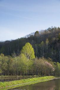 新緑のシラカバ林と満開のサクラの写真素材 [FYI04802489]
