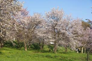 春の青空と満開のサクラの写真素材 [FYI04802494]