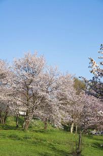春の青空と満開のサクラの写真素材 [FYI04802495]