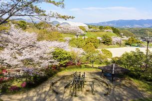 球場・運動公園 うららかな春の季節 桜 日本の写真素材 [FYI04802533]