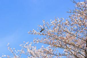 野鳥 春空 桜 うららかな春の季節 日本の写真素材 [FYI04802541]