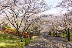 桜参道風景 うららかな春の季節 日本の写真素材 [FYI04802551]