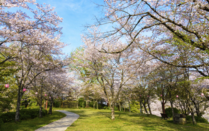 桜参道風景 うららかな春の季節 日本の写真素材 [FYI04802556]