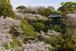 櫓 さくら うららかな春の季節 日本の写真素材 [FYI04802557]