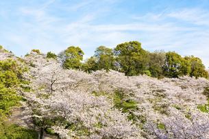春空 桜 うららかな春の季節 日本の写真素材 [FYI04802558]