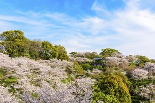 春空 桜 うららかな春の季節 日本の写真素材 [FYI04802561]