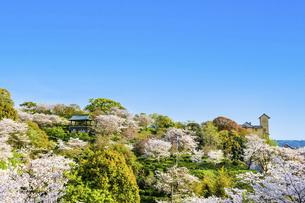 春空 桜 うららかな春の季節 日本の写真素材 [FYI04802566]