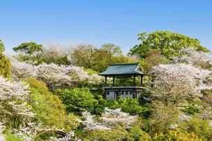 春空 桜 うららかな春の季節 日本の写真素材 [FYI04802570]