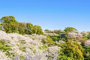 春空 桜 うららかな春の季節 日本の写真素材 [FYI04802572]