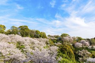 春空 桜 うららかな春の季節 日本の写真素材 [FYI04802573]