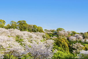 春空 桜 うららかな春の季節 日本の写真素材 [FYI04802576]