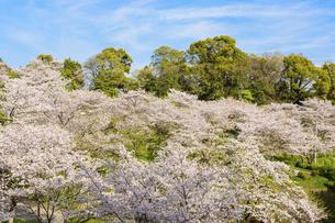 春空 桜 うららかな春の季節 日本の写真素材 [FYI04802577]