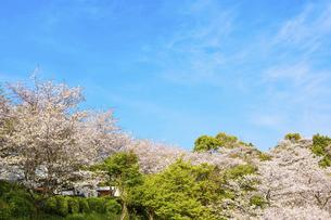 春空 桜 うららかな春の季節 日本の写真素材 [FYI04802579]