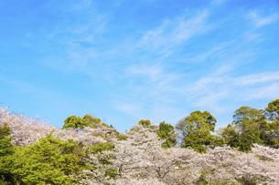 春空 桜 うららかな春の季節 日本の写真素材 [FYI04802581]