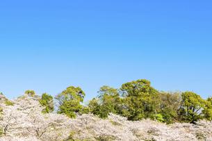 春空 桜 うららかな春の季節 日本の写真素材 [FYI04802585]