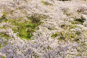 うららかな春の季節 桜風景 日本の写真素材 [FYI04802588]