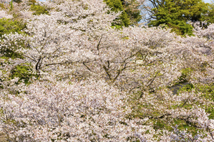 うららかな春の季節 桜風景 日本の写真素材 [FYI04802589]