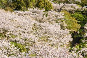 うららかな春の季節 桜風景 日本の写真素材 [FYI04802591]
