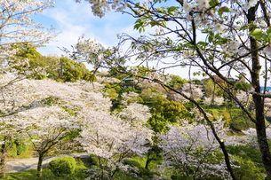うららかな春の季節 桜風景 日本の写真素材 [FYI04802592]