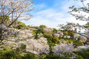 うららかな春の季節 桜風景 日本の写真素材 [FYI04802596]