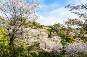 うららかな春の季節 桜風景 日本の写真素材 [FYI04802598]