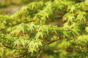 新緑風景 うららかな春の季節 桜風景 日本の写真素材 [FYI04802603]