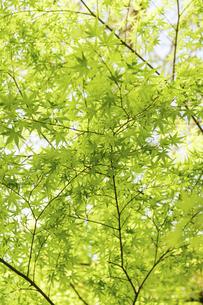新緑風景 うららかな春の季節 桜風景 日本の写真素材 [FYI04802604]