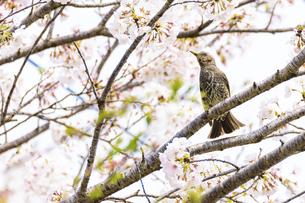 桜の花 野鳥 うららかな春の季節 日本の写真素材 [FYI04802606]