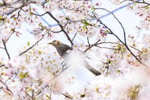 桜の花 野鳥 うららかな春の季節 日本の写真素材 [FYI04802609]