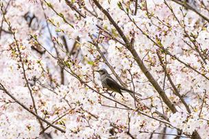 桜の花 野鳥 うららかな春の季節 日本の写真素材 [FYI04802610]