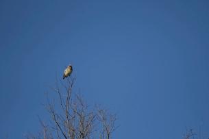 川崎の公園の一羽のヒレンジャクの写真素材 [FYI04802729]