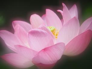 ハスの花の写真素材 [FYI04802895]
