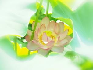 ハスの花の写真素材 [FYI04802899]