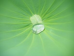 ハスの葉と水滴の写真素材 [FYI04802902]