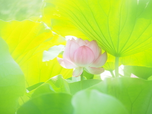 ハスの花の写真素材 [FYI04802911]