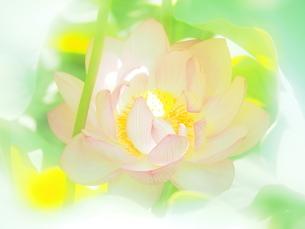 ハスの花の写真素材 [FYI04802915]